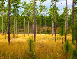 Florida forest images Reforestation friends of florida state forests jpg