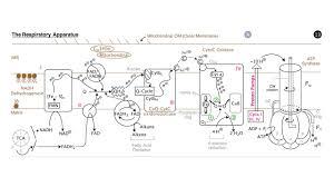 respiration electron transport and oxidative phosphorylation