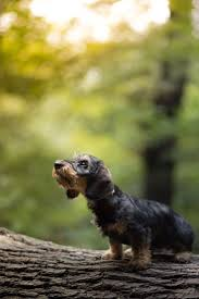 535 best dachsunds images on pinterest dachshunds doggies and