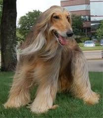 afghan hound ottawa is it the weekend yet barking and bucking pinterest its