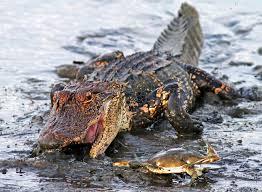 crab fights alligator mirror online