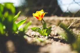 spring flower free stock photos of tulip pexels