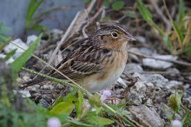 october 2017 bird of the month u2013 florida grasshopper sparrow