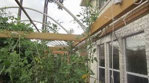 vertical gardening lowering tomatoes to raise production youtube
