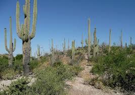 arizona native plants carnegiea gigantea3 lg jpg