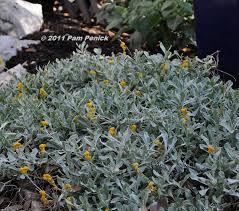 chrysocephalum apiculatum u0027silver and gold u0027 the flowers seem to