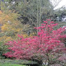arbuste feuillage pourpre persistant euonymus alatus fusain ailé magnifique arbuste au feuillage