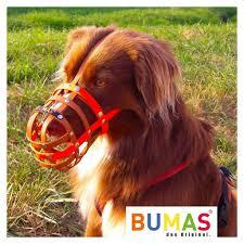 australian shepherd origin bumas muzzle australian shepherd red brown bumas shop for