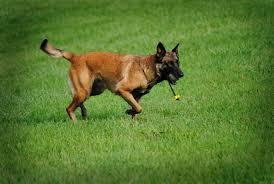 belgian sheepdog breeders michigan belgian malinois puppies clinton township michigan