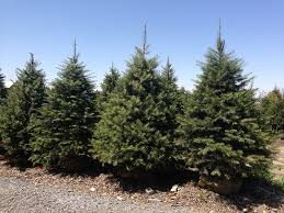 concolor firs concolor fir trees for sale buy white firs
