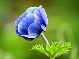 blue flower moons flower blue flower wallpaper