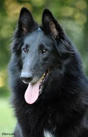 belgian shepherd stomach cancer our litters