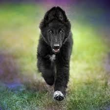 belgian sheepdog puppy wolf shadow photography artwork for sale melbourne victoria