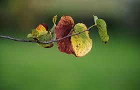 pear tree diseases