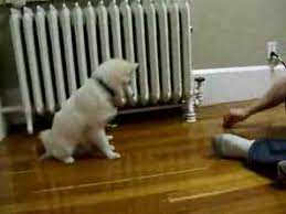 american eskimo dog training american eskimo puppy training 1 youtube