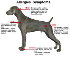 dog food allergies the bully breeds