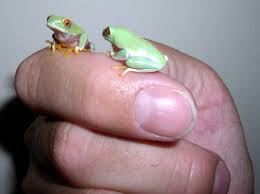 how to breed eyed treefrogs living with lizards