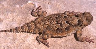 Horny Toad Meme - solar electric generating system ivanpah valley