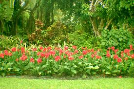 canna lilies tropical plants
