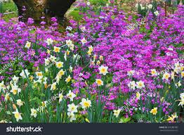 beautiful scenery daffodil flowerswhite purple flowers stock photo