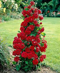buy climbing rose u0027excelsa u0027 bakker com