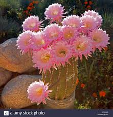 boquet of barrel cactus pink blooming flowers glowing in the