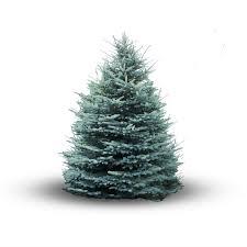 kies een kerstboom die bij jou past tips pinterest blue spruce