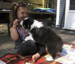 8 week australian shepherd introducing emmylou sweet thing s