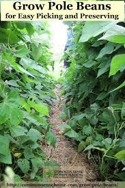 Bean Leaves Bed Bugs Growing Pole Beans Jpg