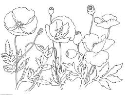 pictures poppies colour pictures poppies colour