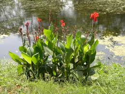 Tropical Plants Pictures - canna indica useful tropical plants