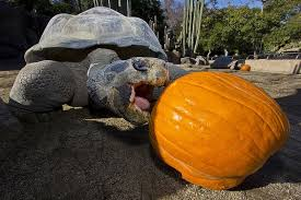tortoises enjoy thanksgiving leftovers turtle tortoise and san