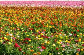 carlsbad flower garden the flower fields lucky little mustardseed