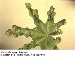 Plant Diseases With Pictures - papaya texas plant disease handbook