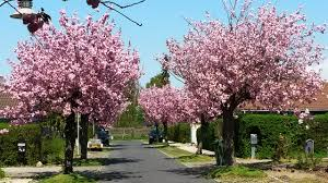 japanese cherry blossom trees prunus serrulata cultivar kanzan