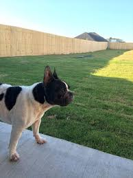 norman is ready to roam welcome to itchy frenchie