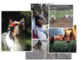 j bar w australian shepherd lark u2013 february u0027s dog zoom room dog training