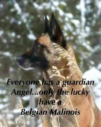 belgian malinois quotes 17 best images about malinois on pinterest leather harness dog
