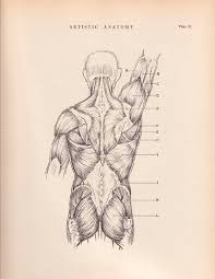 Anatomy Of Human Back Muscles Human Back Muscles Print 9 X 12 Anatomy Drawing By Agedpage