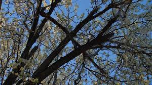 why the beautiful bradford pear is the worst tree in the world