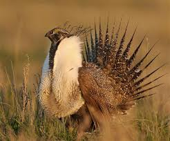 North Dakota wildlife images Nd working to import sage grouse from montana bakken news jpg