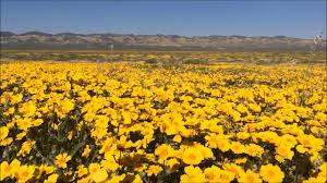 Anza Borrego Wildflowers Super Bloom by California Wildflower Super Bloom 2017 At Carrizo Plain Temblor