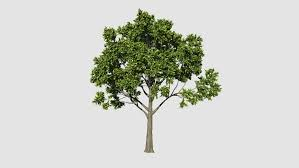 3d rendering of spinning elm tree spins 360 degress and is