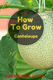 best 25 growing cantaloupe ideas on pinterest growing
