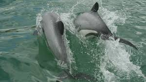 facts about māui dolphin
