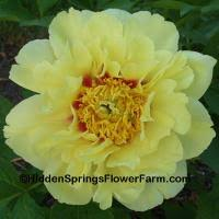 yellow peonies you ll find a great selection of yellow and color peony