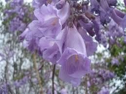 tree identification jacaranda mimosifolia jacaranda