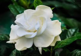 Gardenia Flower Identification Of Gardenia Shrub Diseases And Helpful Care Tips