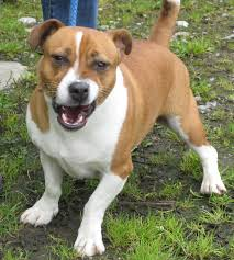 australian shepherd jack russell mix milo u2013 2 year old male jack russell terrier cross staffordshire