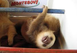 here are a bunch of pictures of baby sloths you re welcome much